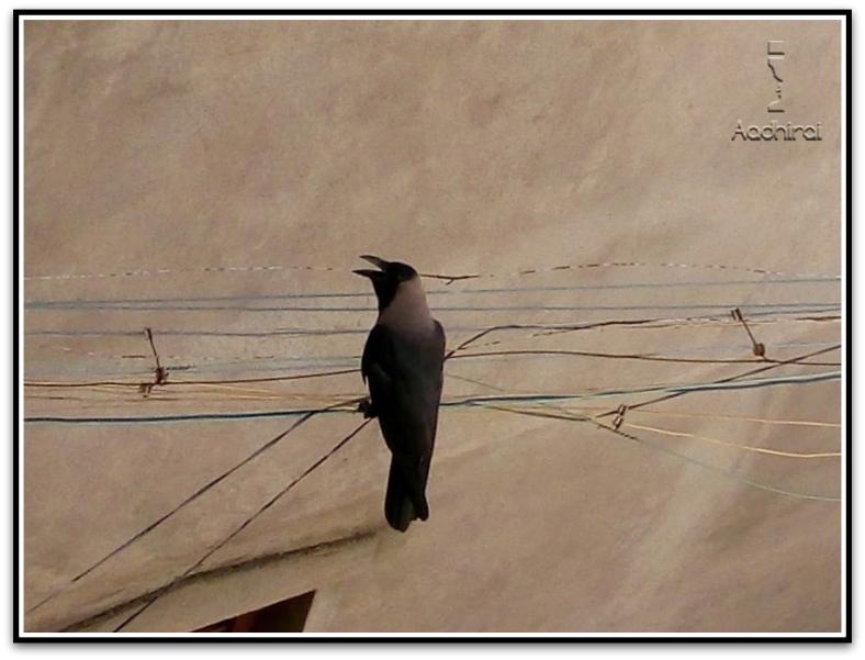 The powerful crow.jpg